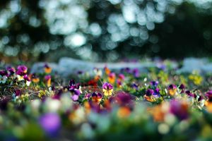flowers bokeh purple flowers pansies plants