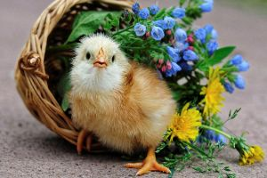 flowers chickens photography birds baskets baby animals