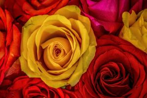 flowers colorful plants yellow flowers rose red flowers