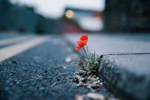 flowers depth of field plants urban red flowers road poppies asphalt