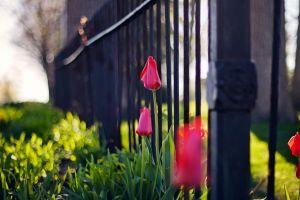 flowers nature depth of field bokeh pink flowers fence