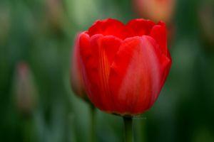 flowers nature tulips