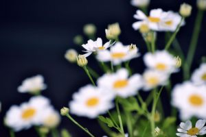 flowers plants daisies white flowers