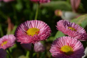 flowers plants pink flowers
