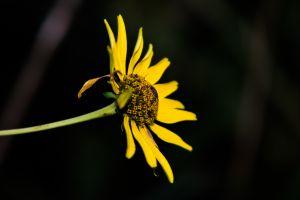 flowers plants sunflowers yellow flowers