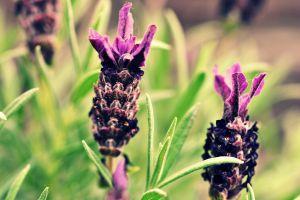 flowers purple flowers lavender