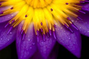 flowers purple water drops lilies