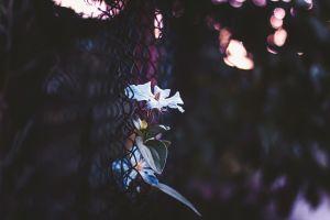 flowers urban bokeh white flowers fence