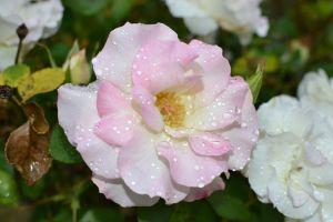 flowers water drops plants
