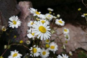 flowers white flowers daisy plants