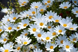 flowers white flowers plants nature