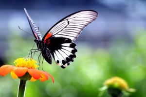flowers wings insect animals butterfly closeup macro nature