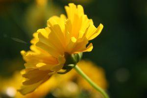 flowers yellow flowers plants
