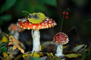 fly agaric plants nature mushroom