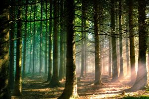 forest green sunlight trees pine trees branch sun rays landscape nature