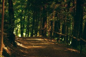 forest landscape path trees