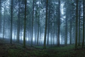 forest trees morning nature landscape mist
