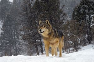 forest winter wolf animals snow nature trees