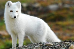 fox animals arctic fox nature