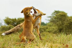 fox cubs  forest nature