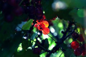fruit plants green leaves macro berries