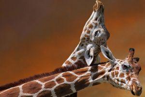 giraffes nature animals