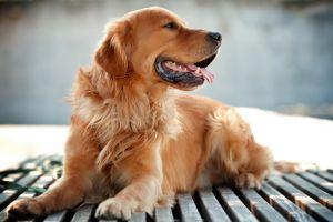 golden retrievers dog animals
