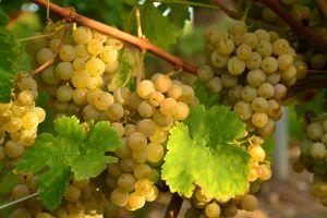 grapevine nature grapes grape