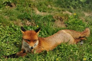 grass fox nature animals