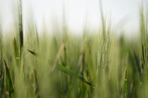 grass plants macro nature spikelets depth of field
