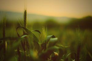 grass spikelets wheat depth of field