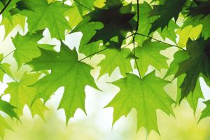 green drawing leaves maple leaves