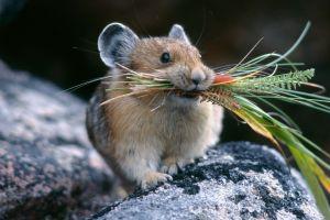 hamster mammals wildlife animals rodent