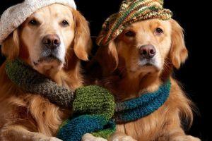 hat scarf golden retrievers dog animals