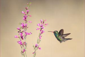 hummingbirds animals flowers birds