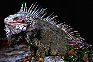 iguana animals nature
