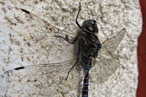 insect depth of field macro dragonflies