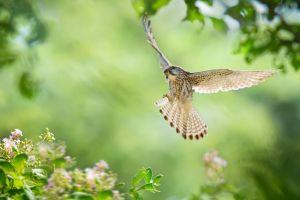 kestrel birds animals