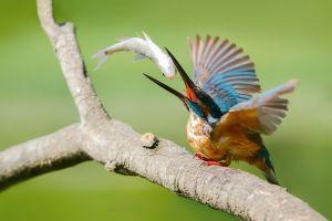 kingfisher birds animals fish