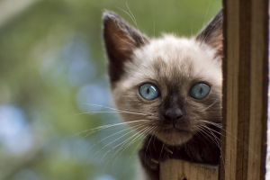 kittens siamese cats cats animals blue eyes