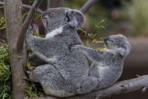 koalas animals baby animals