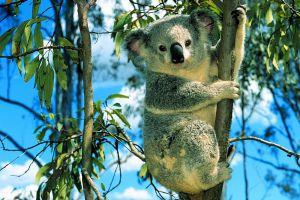 koalas animals nature