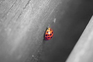 ladybugs animals wood depth of field macro