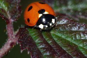 ladybugs macro insect animals