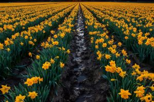 landscape nature daffodils flowers
