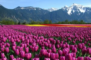 landscape tulips british columbia field mountains canada flowers