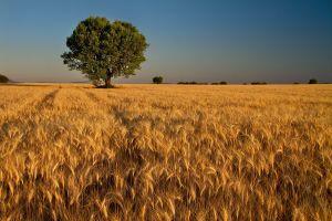 landscape wheat field trees summer plains