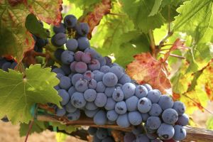 leaves fruit black grapes grapes