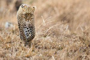 leopard wildlife animals leopard (animal)