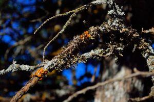 lichen depth of field branch